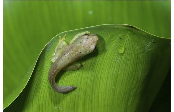 ~ Golden palm tree frog tadpole!~ 51 Adorable Baby Animals That Seem Too Small to Be Real (Slide #20) - offbeat