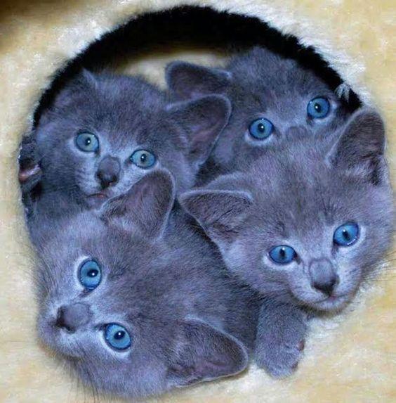 blue eyes kittens *♥*•ѕσ ѕωєєт•*♥*