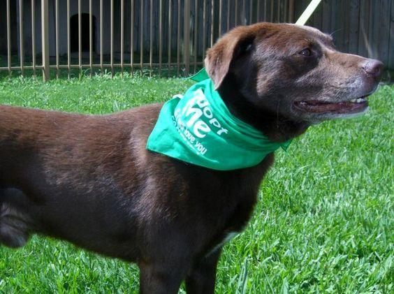 Meet MOWGLI, a Petfinder adoptable Chocolate Labrador Retriever Dog | Houston, TX | MEET MOWGLI ....the love bugMOWGLI is the sweetest, lovable,  male labrador retriever mix.  He is...
