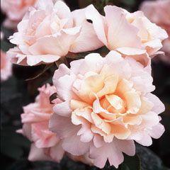 ~Michèle Meilland Bush - David Austin Roses