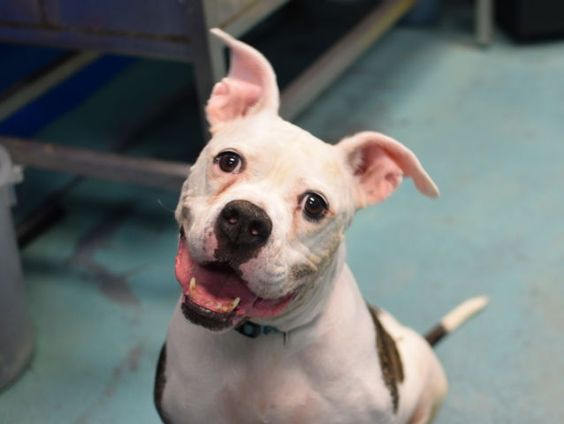 "JOSIE - A1088676 - - Brooklyn Please Share:TO BE DESTROYED 09/16/16**AVERAGE HOME RATED JOSIE HAS BEEN WAITING AND WAITING FOR HER SPECIAL SOMEONE!** Josie is a completely awesome five year old black and white cookie who entered the Brooklyn Center just recently as a ""stray."" Josie scored an enviable AVERAGE HOME rating on her evaluation; but, is being listed tonight due to some medical issues that need attention. Josie was perhaps dumped by her former family a"