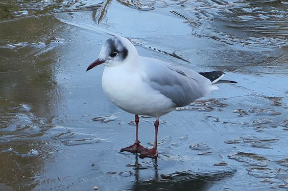 #Seagull Where's all the Water Gone? #Wakehurst Place January 2016 www.pinterest.com/annbri/