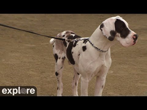 Great Danes Arena Cam Service Dog Project Powered By Explore Org