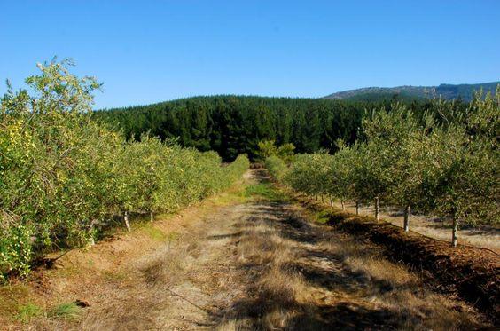 Las piedras Jahrgang 2015 - die diesjährige #Ernte hat begonnen. Jede #Olive sorgsam ausgewählt und schonend von Hand gepflückt. Die ausgezeichnete #Qualität unserer Früchte ist das Markenzeichen der #Olivenöle von Las piedras