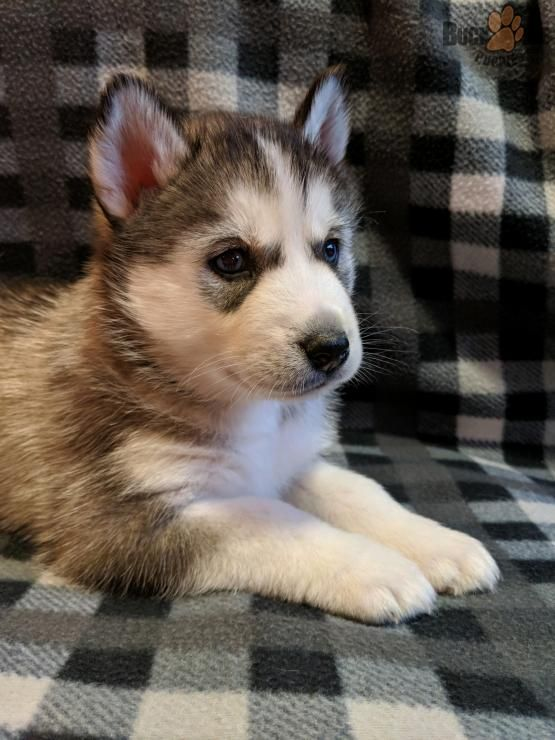 Pin By Kayla Martin On Puppies Husky Puppies For Sale Husky