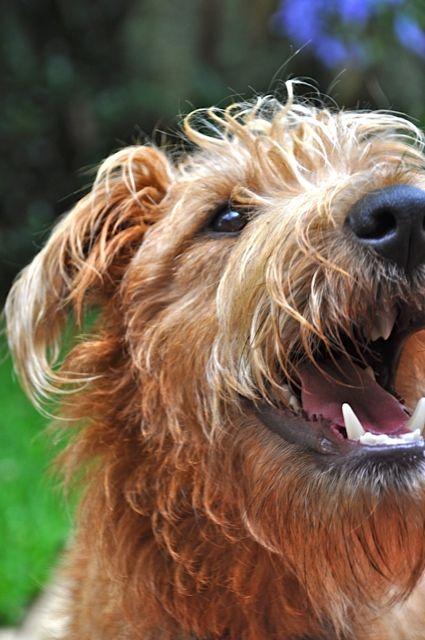 Baxter is one happy Irish Terrier :)
