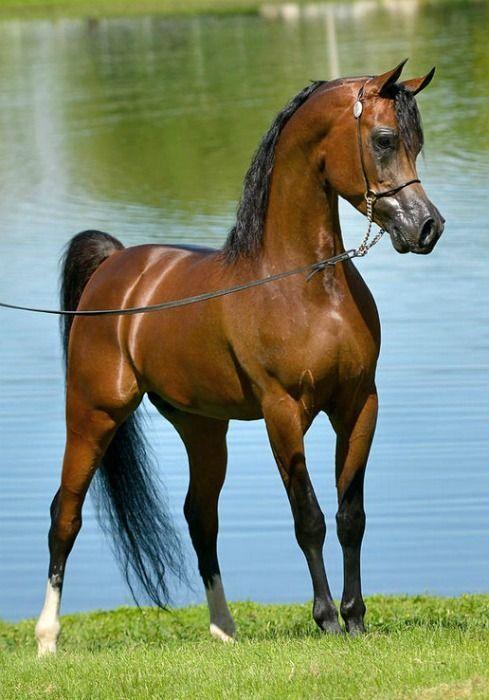 Google Arabian Horse Beautiful Horses Beautiful Arabian Horses