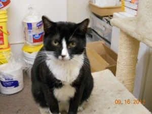 Tinker is an adoptable Domestic Short Hair-Black And White Cat in Las Vegas, NV. Tinker is a black and white cat. She was taken in when her owner passed away. She is looking for a new home....