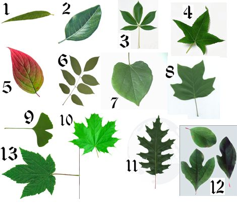 Names of leaves from trees can you name the common american trees by