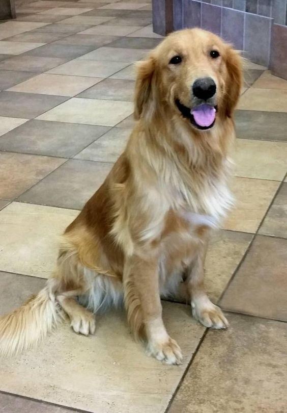 This is Kenna - 6 yrs. She is spayed, current on vacciantions, potty trained, has good house manners, walks well on leash. She is good with dogs but prefers to be the only dog in the house. Not cat/kid tested. She will be having arthroscopic surgery on her elbows in September. Arizona Golden Rescue - https://www.petfinder.com/petdetail/35447147 - http://www.arizonagoldenrescue.org/dogs/available-dogs.html