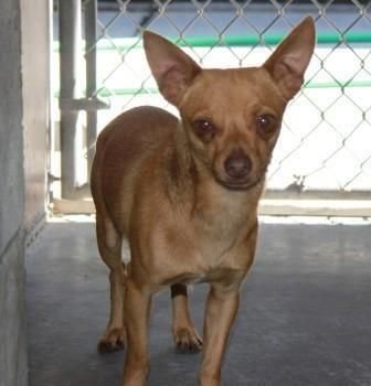 E096 A3147622 Formerly In E092 2 Yr Male Tan Chihuahua Sh Mix Stray Beh Fea On The Euthanasia List For Sunday May 20th Mcacc East 602 506 Pets