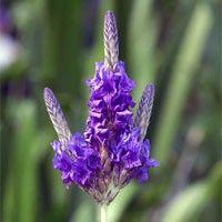 Lavendelbloemen 25 gram