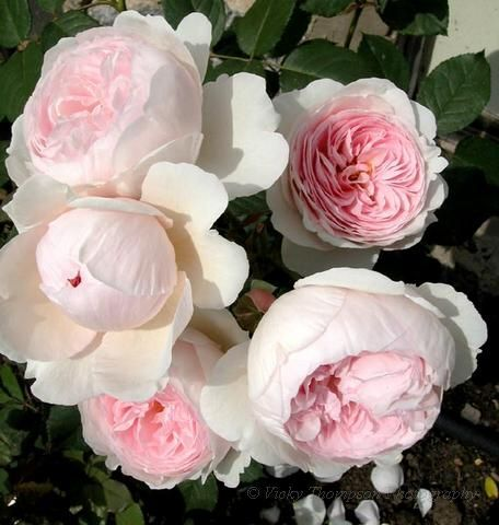 old English cabbage roses