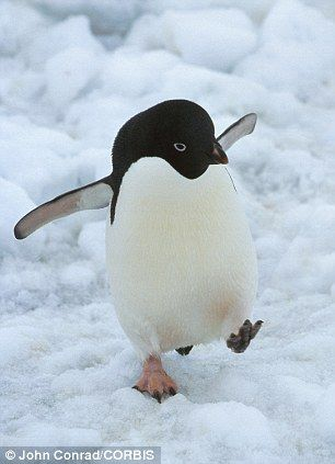 An Adelie penguin walking on the ice in Antarctica. Climate change is killing a worrying amounts of birds