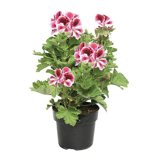 Geranio regal varios colores planta de sol riego 3 veces - Plantas resistentes al sol ...