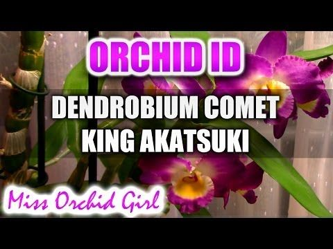 Dendrobium Comet King Akatsuki - YouTube