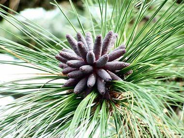 Longleaf pine cone