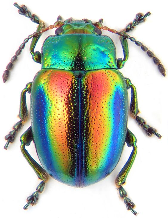 beetles are beautiful too...