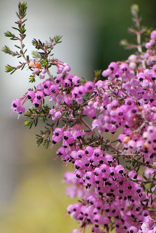 Erica Canaliculata In 2020 Unusual Flowers Heather Flower Beautiful Flowers