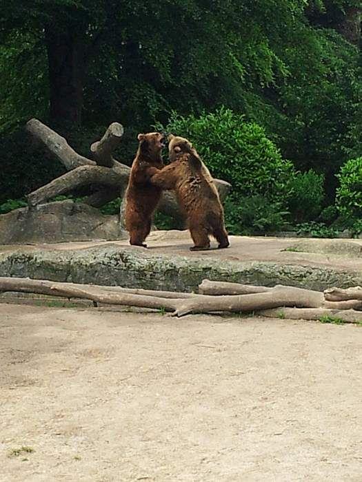 Kämpfende Braunbären in Hagenbecks Tierpark Hamburg