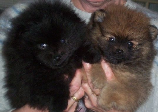 Pomeranian puppy, Black and brown and Pomeranians on Pinterest