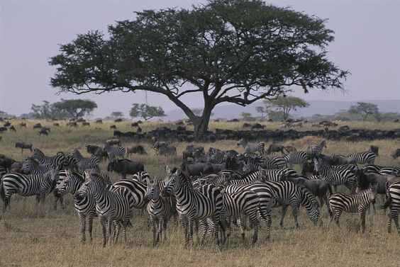 Zebras And Wildebeests In The Serengeti  Annie Griffiths     |   #452 of 32388