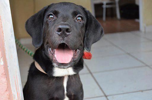Labrador Retriever Intelligent And Fun Loving Labrador Retriever Labrador Puppy Training Labrador