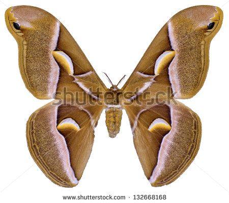 Saturniidae Fotos, imagens e fotografias Stock | Shutterstock