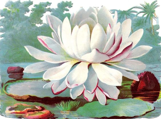 Oblaten Glanzbild scrap die cut chromo Seerose 15,5cm water lily Teich lake: