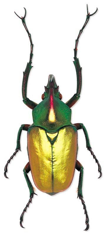 Say it with me: Theodosia perakensis. Ya.. screw that. It's a scarab beetle.