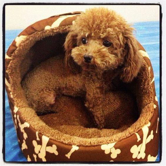 Super Cute Toy Poodle!