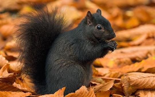 Black squirrel. There is one of these outside of my work!: