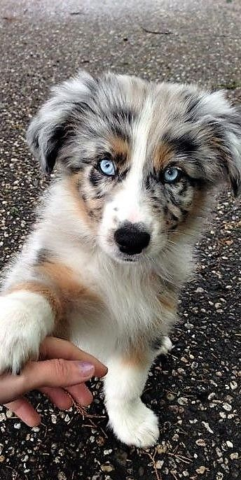 Pin By Randy Ashford On Perros Cute Dogs And Puppies Aussie Dogs Cute Animals