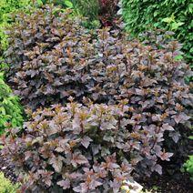 Physocarpus opulifolius 'Diabolo' PBR 4