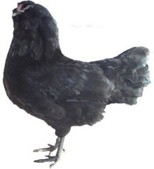 Appenzeller Barthuhner Chicken