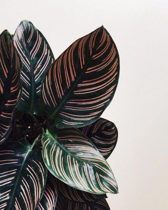 Calathea Ornata #bloominghouseplants