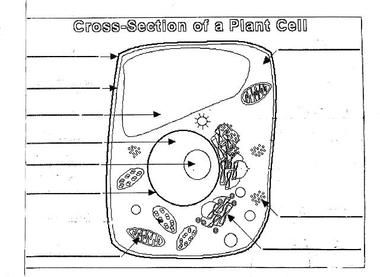 Plant Cell Diagram Worksheet | plant cell diagram unlabeled animal ...