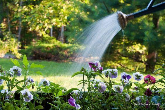 É importante não encharcar a terra, pois o excesso de água deixa as raízes submersas e sem ar.