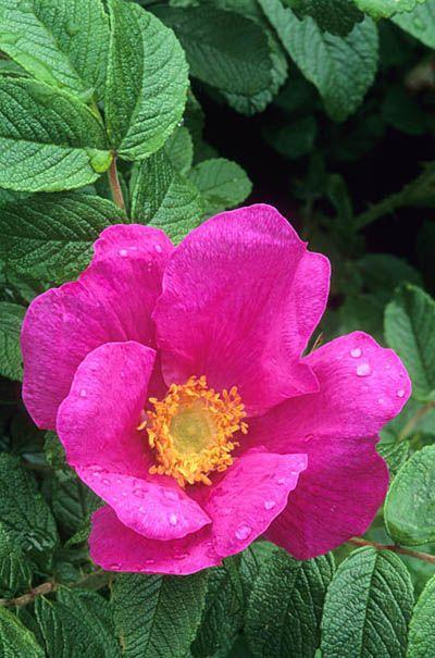 Rosa rugosa Fotografia de John Glover, uno de los primeros y de los mas importantes fotografos de jardin del Reino Unido