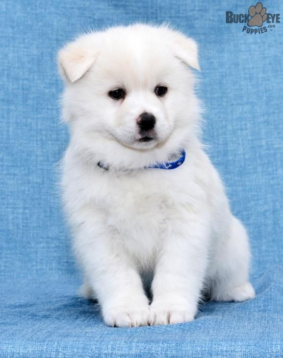 Pin By Saichung Tam On Animals Pomsky Puppies Puppies Pomsky