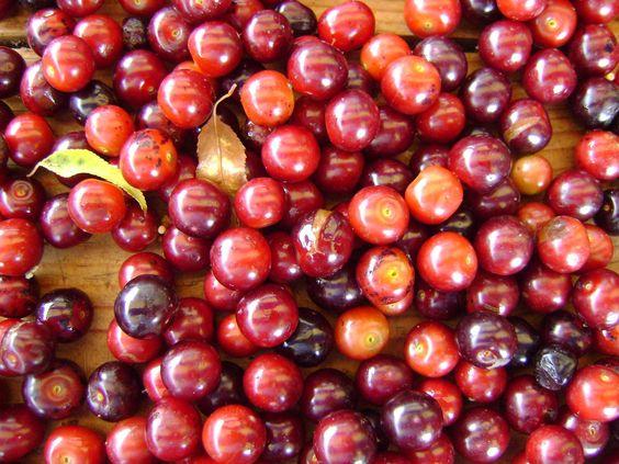 Capulines 04. Son muy dulces y jugosos y muy pequenos.adentro tiene muchisimas semillita pequenitas. A los murcielagos les facina esta fruta.