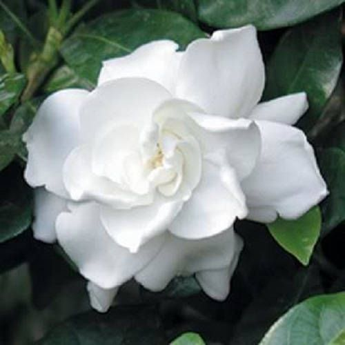 50 Gardenia Cape Jasmine Jasminiodes Fragrant White Shrub Flower
