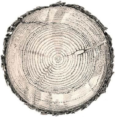 tree rings drawings and trees on pinterest