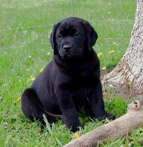 Chocolate Golden Retriever Puppies For Sale