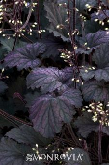 Heuchera 'Frosted Violet'. Purple-green leaves and small white flowers.