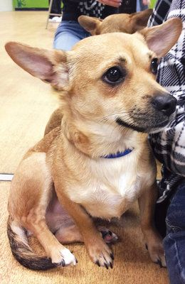 images of a corgi and chihuahua mix
