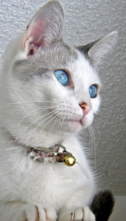 Such a beautiful cat! Lovely blue eyes ♥