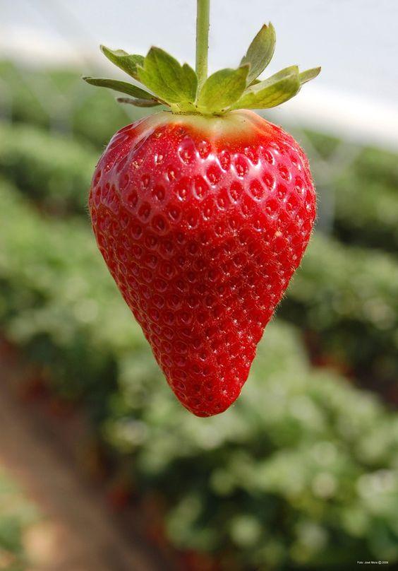 Fresa Candonga, riquísima en Vitamina C y apenas tienes calorías