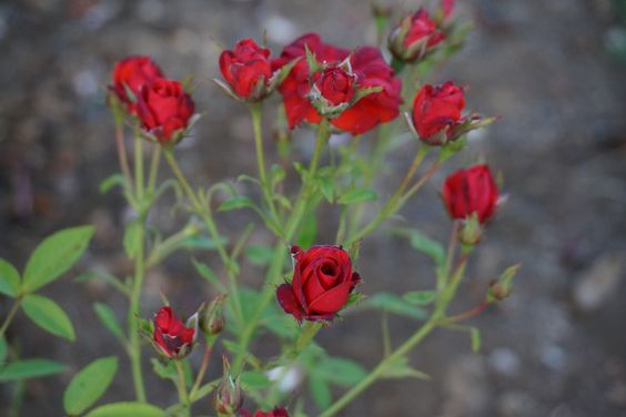 Rosas en Villarrica, Chile