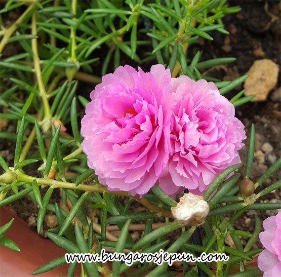 Foto Bunga Ros Jepun Jenis Bunga Ros Jepun Bunga Ros Jepun Terkini Baja Untuk Bunga Ros Jepun Ttct Ct320 Kebun Fatima 3 Bung Bunga Kebun Bunga Taman Bunga
